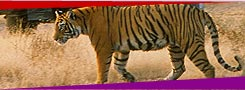 Tiger,Corbett National Park, Wildlife Tour Packages